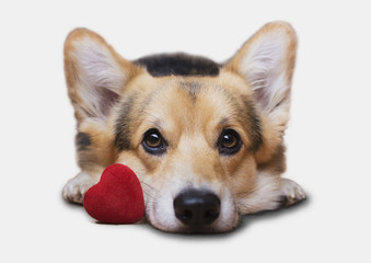 A dog with a red heart on a white background. Valentine's Day.