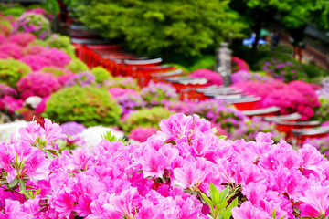 Beautiful pink azalea flowers in full bloom with red Torii gate in the background during Bunkyo Azalea Festival at Nezu Shrine in Tokyo, Japan, selected focus blur in the background