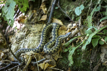 Vipera berus, Common European Adder