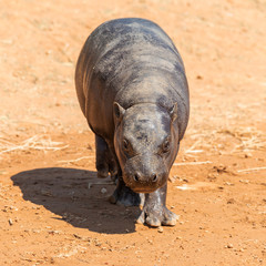 A pygmy hippopotamus walking on the ground comes to the camera