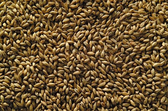 Yellow barley for beer