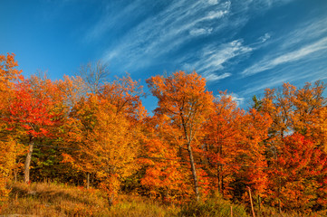Golden Maple trees by the roadside in Fall
