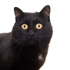 Portrait of a black cat on a white background