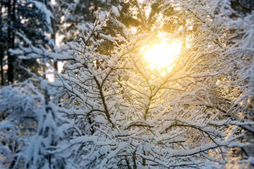 Beautiful winter landscape at sunset with trees in snow and sun shine through branches