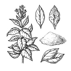 Tobacco vector drawing. Plant with flowers, Fresh and dried leaves. Botanical