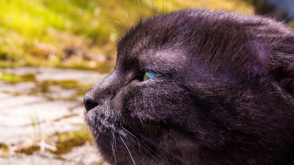 Close-up photo of the head of a curious cat (Scottish Fold Munchkin) relaxing outdoor.