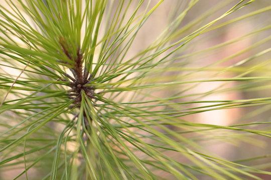 soft loblolly pine
