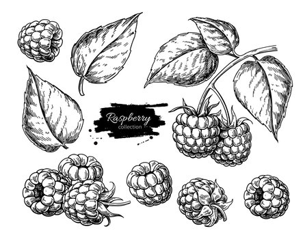 Raspberry vector drawing. Isolated berry branch sketch on white