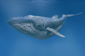 humpback whale swim underwater - 3d rendering