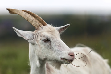 Close-up profile portrait of nice white hairy bearded goats with long horns on bright sunny warm summer day on blurred green grassy fieldsand trees background.