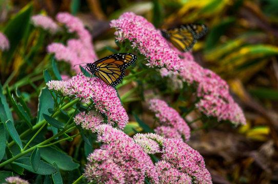 Twin Monarch Butterflies on Autumn Joy Sedum