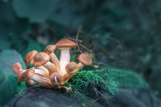 Magic Mushroom stock images. A group of magic mushrooms.