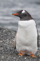 Gentoo penguin (Pygoscelis papua) at the Martillo Island penguin colony, Tierra del Fuego, Argentina.