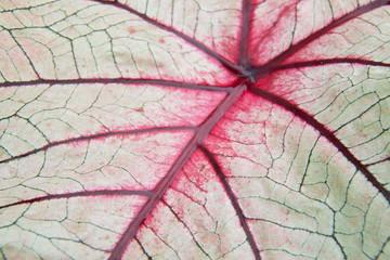 Red viens of leaf