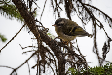 Golden Crowned kinglet in a tree