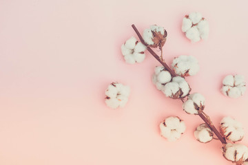 Raw cotton branches with buds on plain pink background, flat lay with copy space, retro toned