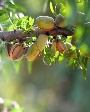 ready to havest almonds