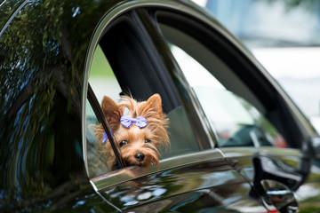 Yorkshire Terrier schaut aus dem Auto