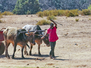Man leading his cow cart in a highland village, kingdom of Lesotho, Southern Africa