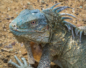 Portrait of a very blue American (or green) iguana on the Caribbean island of Bonaire
