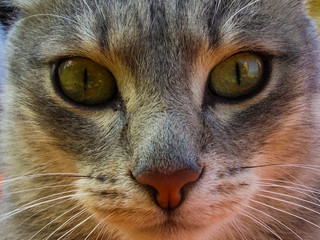 face of a gray cat close-up