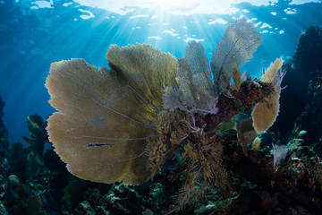 Sea Fans and Sunlight in the Caribbean Sea