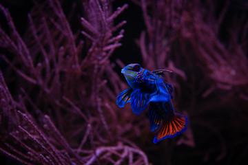 Nice mandarin fish in coral sea aquarium pets