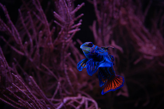 Nice mandarin fish in coral sea aquarium pets