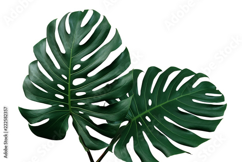 Wall mural Dark green leaves of monstera or split-leaf philodendron (Monstera deliciosa) the tropical foliage houseplant isolated on white background, clipping path included.