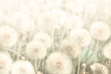 Dreamy dandelions blowball flowers against sunset. Pastel golden toned. Macro with soft focus. Delicate transparent airy elegant artistic image of spring. Nature greeting card background