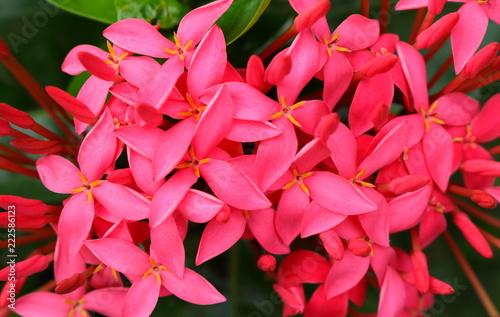 Closeup photo of pink spike flowers or ixora stock photo and closeup photo of pink spike flowers or ixora mightylinksfo