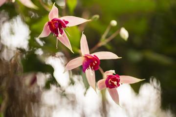 Hanging fuchsia flowers in the garden.fuchsia magellanica flower.