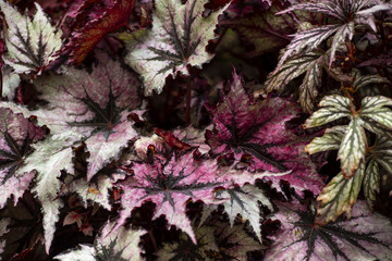 Fresh Green Leaves Red Veins of Begonia Plant,Leaf of Begonia