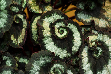 Begonia leaf. Green leaf plant pattern tree.Fresh Green Leaves