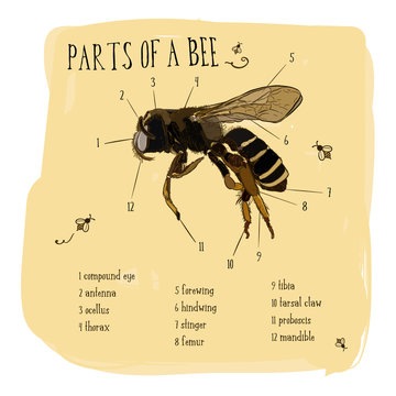 Vector engraving illustration part of honey bee