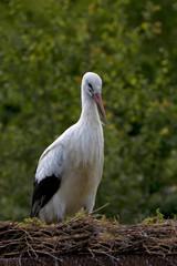 White stork in the nest
