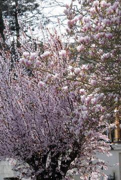 Magnolias et prunus, ville de Rugles, département de l'Eure, Normandie, France