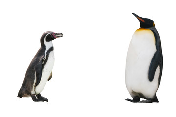 two penguin on white background isolated