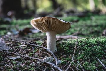 Toxic mushrooms in nature