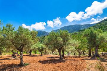 Photo sur Toile Oliviers Oliven Baum Plantage Acker Feld Mediterran Landschaft