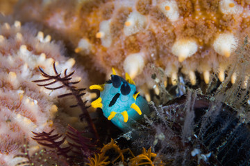 Crowned nudibranch (Polycera capensis) underwater front view of the sea snail's head.