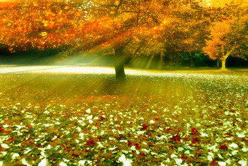 Wall Mural - Tree with rays of sun and with autumn fall leaves in grass