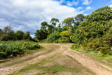 Walking trails leading to wooded copse, Woodbury Common Heathland, Devon, UK. on Sunny day