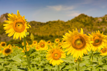 Full bloom sunflower selective focus, natural landscape background