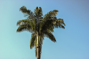 Brazilian palm tree