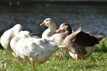 Ducks in the lagoon