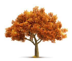 autumn maple tree isolated