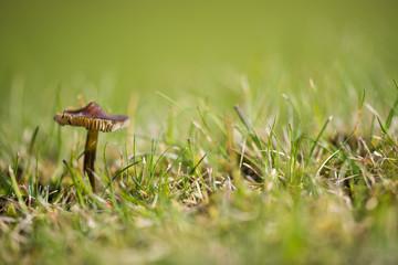 Macro Image of Mushroom in the Grass