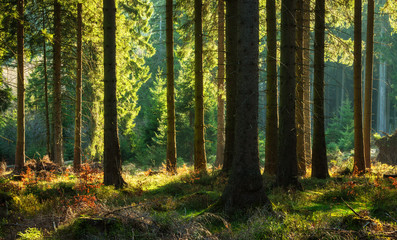 Spruce Tree Forest in Autumn