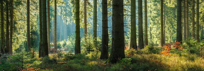 Sunny Panoramic Forest of Spruce Trees in Autumn Wall mural